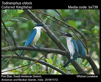 Todiramphus chloris - Collared Kingfisher