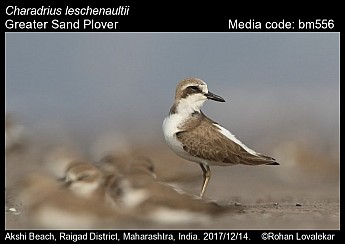 Charadrius leschenaultii - Greater Sand Plover