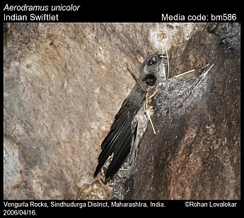 Aerodramus unicolor - Indian Swiftlet