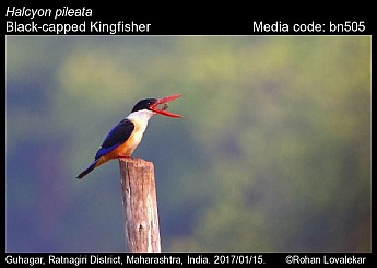 Halcyon pileata - Black-capped Kingfisher