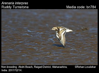 Arenaria interpres - Ruddy Turnstone