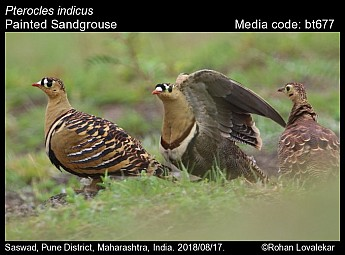 Pterocles indicus - Painted Sandgrouse