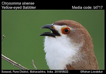 Chrysomma sinense - Yellow-eyed Babbler