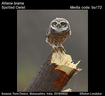Athene brama - Spotted Owlet