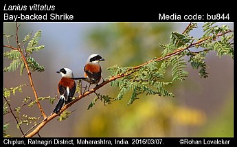 Lanius vittatus - Bay-backed Shrike