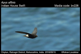 Apus affinis - Indian House Swift