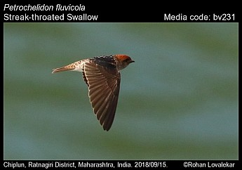 Petrochelidon fluvicola - Streak-throated Swallow