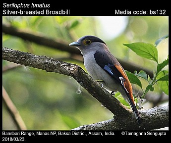 Serilophus lunatus - Silver-breasted Broadbill