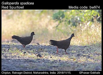 Galloperdix spadicea - Red Spurfowl