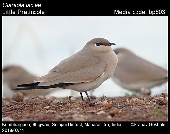 Glareola lactea - Little Pratincole