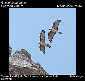 Gypaetus barbatus - Bearded Vulture