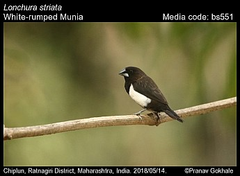 Lonchura striata - White-rumped Munia
