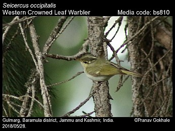 Seicercus occipitalis - Western Crowned Leaf Warbler