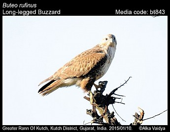 Buteo rufinus - Long-legged Buzzard