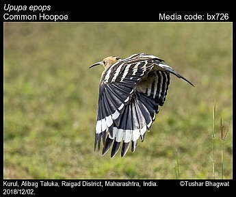 Upupa epops - Common Hoopoe