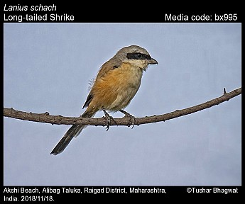 Lanius schach - Long-tailed Shrike