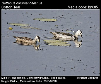 Nettapus coromandelianus - Cotton Teal