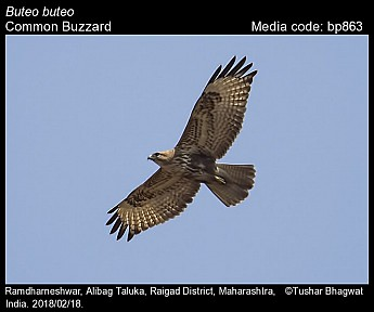 Buteo buteo - Common Buzzard