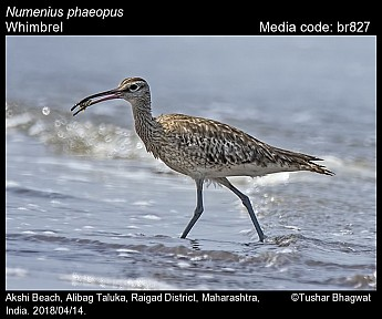 Numenius phaeopus - Whimbrel