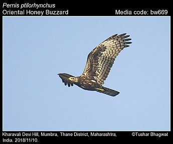 Pernis ptilorhynchus - Oriental Honey Buzzard