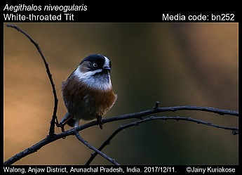 Aegithalos niveogularis - White-throated Tit