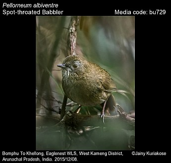Pellorneum albiventre - Spot-throated Babbler