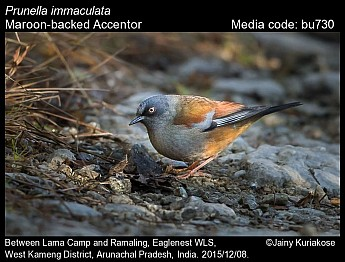 Prunella immaculata - Maroon-backed Accentor