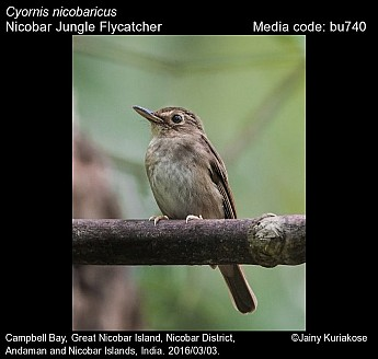 Cyornis nicobaricus - Nicobar Jungle Flycatcher