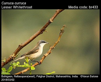 Sylvia curruca - Lesser Whitethroat