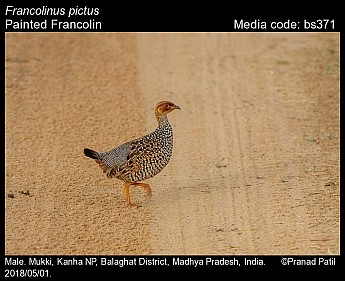 Francolinus pictus - Painted Francolin