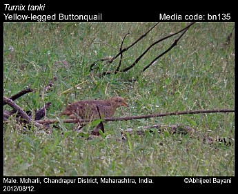 Turnix tanki - Yellow-legged Buttonquail