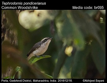 Tephrodornis pondicerianus - Common Woodshrike