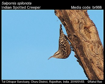 Salpornis spilonota - Indian Spotted Creeper
