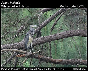 Ardea insignis - White-bellied Heron