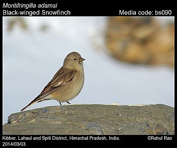 Montifringilla adamsi - Black-winged Snowfinch