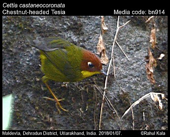 Cettia castaneocoronata - Chestnut-headed Tesia