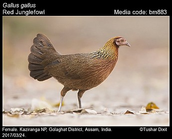Gallus gallus - Red Junglefowl