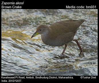 Zapornia akool - Brown Crake