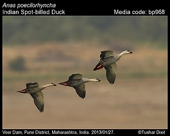 Anas poecilorhyncha - Indian Spot-billed Duck
