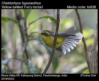Chelidorhynx hypoxanthus - Yellow-bellied Fairy-fantail
