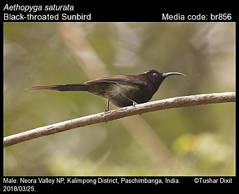 Aethopyga saturata - Black-throated Sunbird