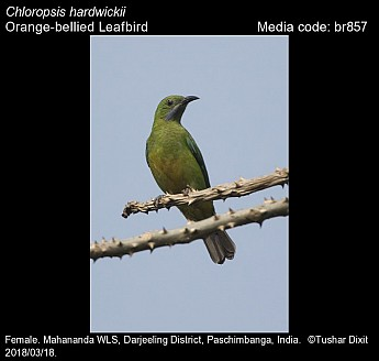 Chloropsis hardwickii - Orange-bellied Leafbird