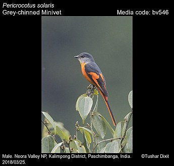 Pericrocotus solaris - Grey-chinned Minivet