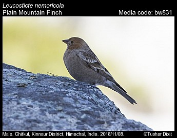 Leucosticte nemoricola - Plain Mountain Finch