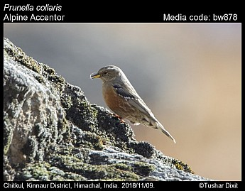 Prunella collaris - Alpine Accentor
