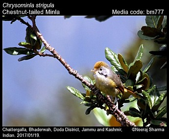 Chrysominla strigula - Chestnut-tailed Minla