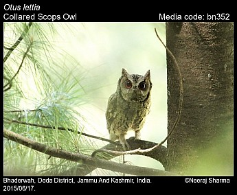 Otus lettia - Collared Scops Owl