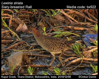 Lewinia striata - Slaty-breasted Rail