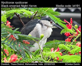 Nycticorax nycticorax - Black-crowned Night Heron