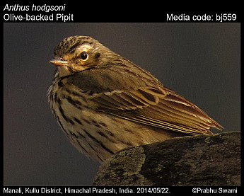 Anthus hodgsoni - Olive-backed Pipit